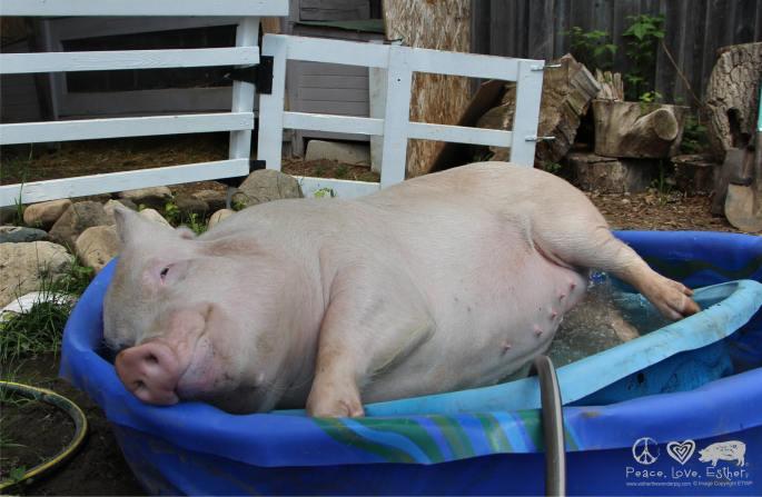 Esther the Wonder Pig
