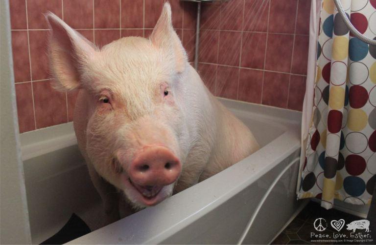 Esther the Wonder Pig!