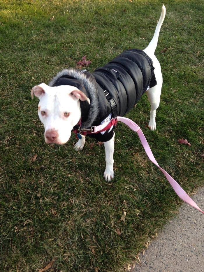 Lucy in her new winter coat.